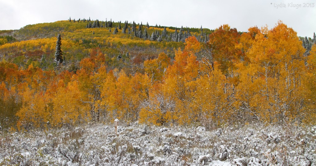 Contrast of white snow and golden aspen.