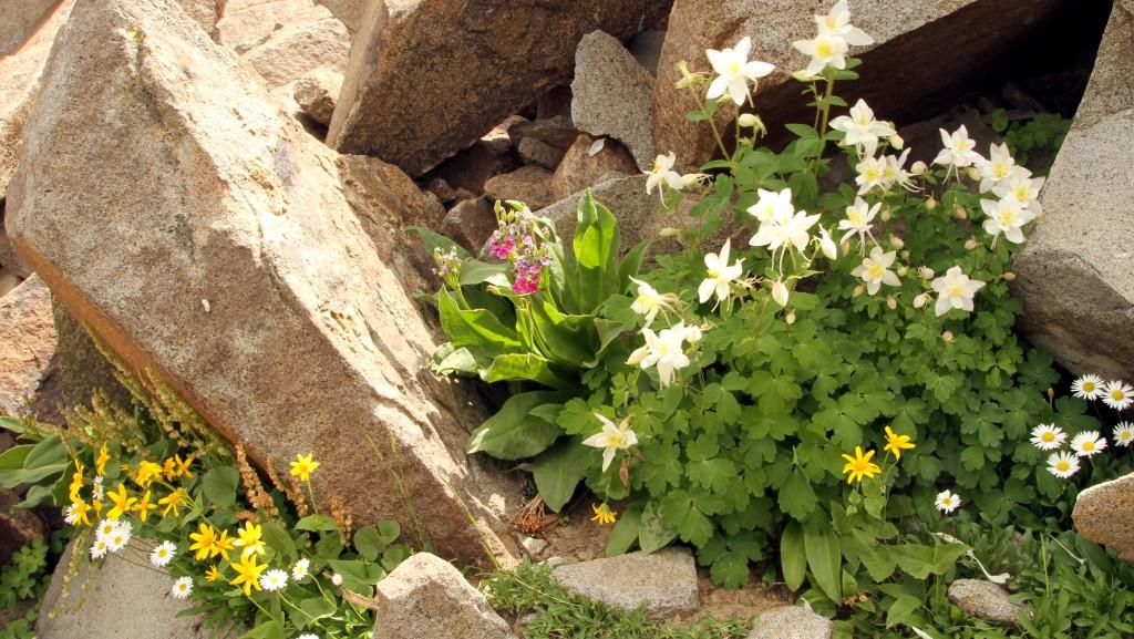 Determined wildflowers growing between the rocks (daisies, columbine, etc.).